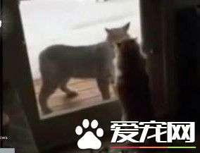 不速之客山猫入侵民宅 家猫低吼威吓劝退山猫